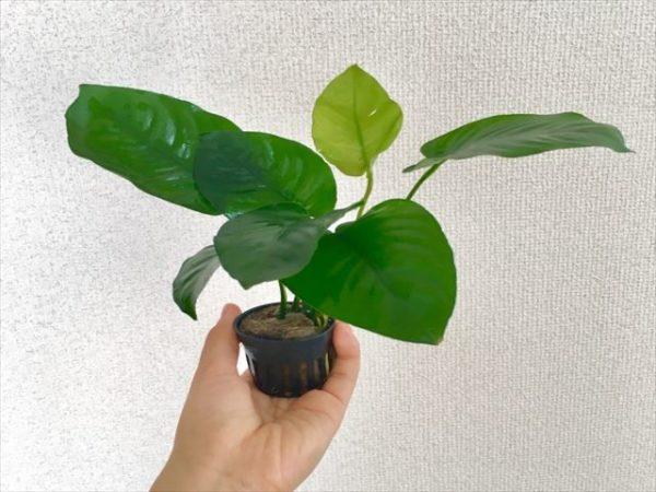 ウーパールーパーおすすめ水草アヌビアス